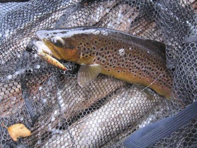 Cliff's well conditioned brown trout from the Huon River © Carl Hyland